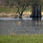 Regen ein Segen für die Niederung</br>Enten, Gänse und Kraniche