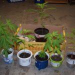 Cannabispflanzen auf der Fensterbank gezogen