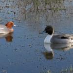 Gänse und Enten tummeln sich in der Niederung